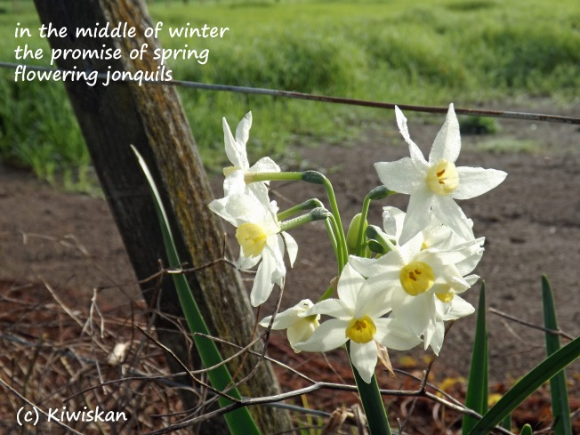 haiku for jonquils