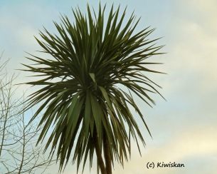 cabbage tree1