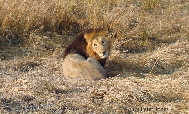 lion copyright