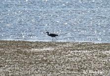 black reef heron4