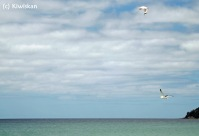 gannets2
