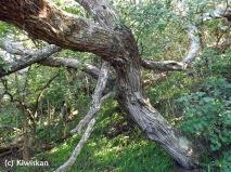 gnarled trunk