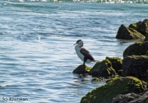 pied shag on the rocks4