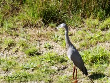 white faced heron2