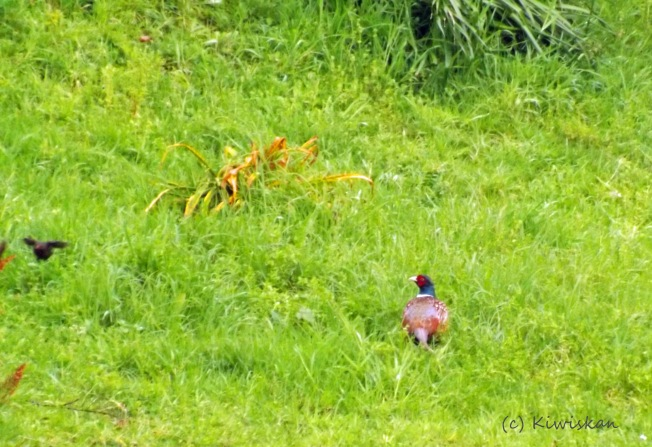 pheasant 001