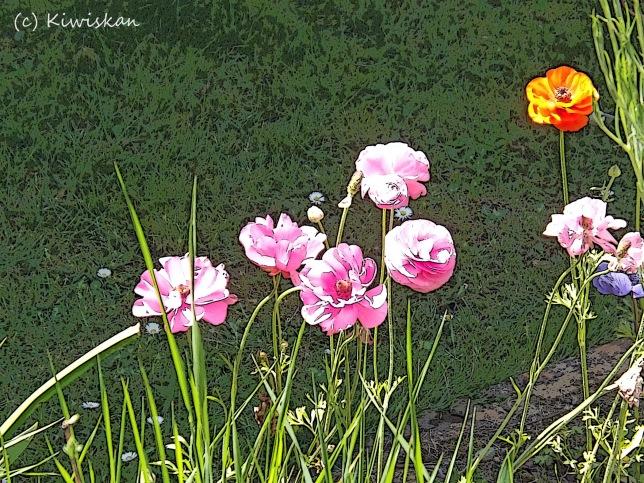 anemones drawn