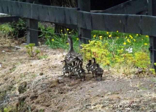 love a duck3