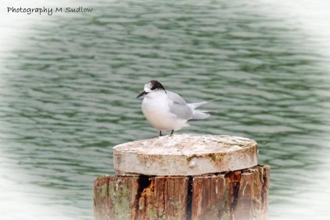 Fairy tern1