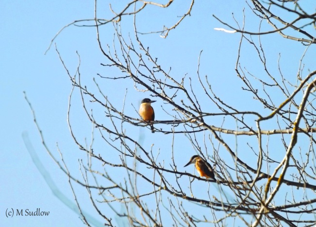 morning kingfishers