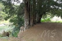 Totara trees