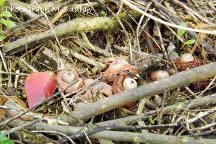 Geastrum fimbriatum small