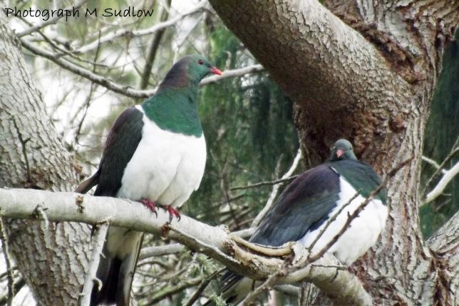 wood pigeon2