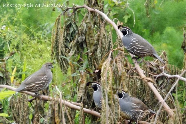 Californian quails2