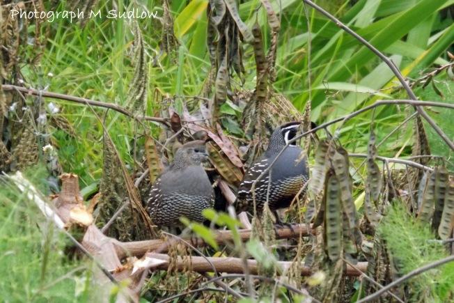 Californian quails4