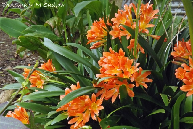 common Clivia