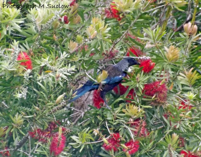 Tui in the Banksia