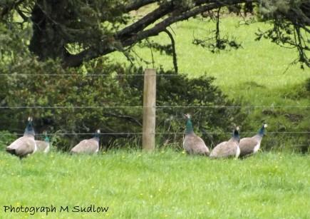 Peacocks2