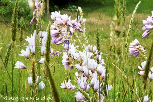 windflowers2