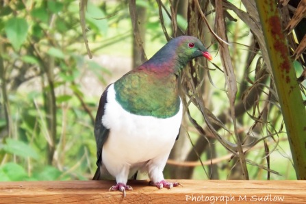 Kereru on deck