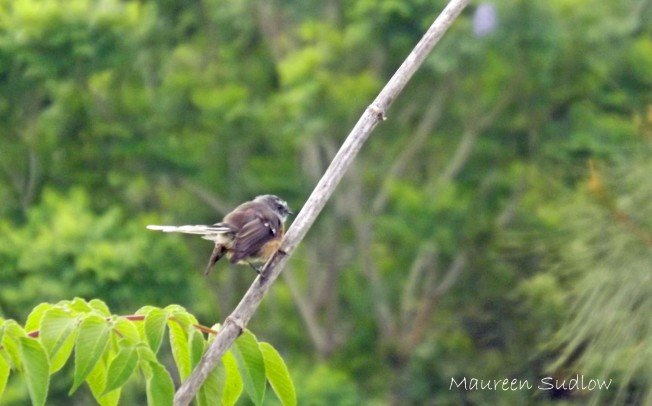 baby fantail
