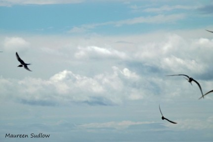 seabirds2