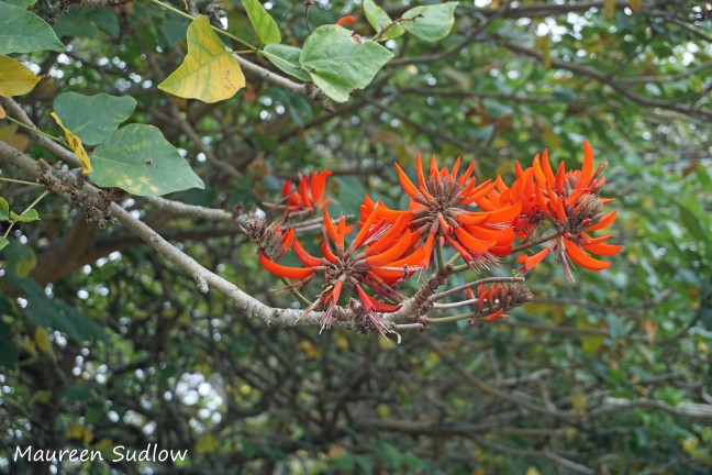 Brazilian flame tree