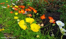 poppies2