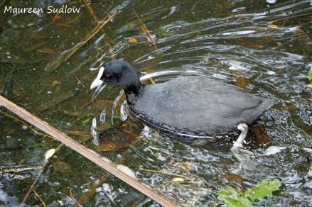 birds-coot
