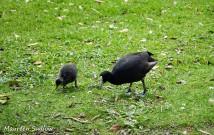 birds-coots