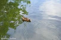 birds-duck
