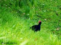 birds-pukeko