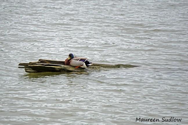 duck-paddling