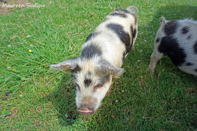 two-lirttle-pigs