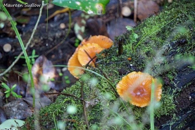 bush fungi 2 Galerina