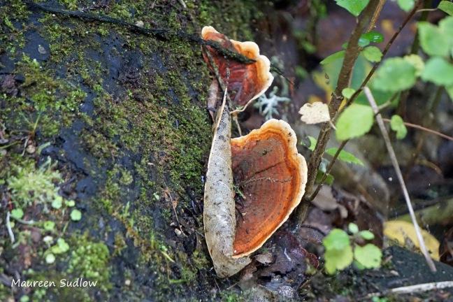 bush fungi 3 Trametes