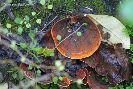 bush fungi 4