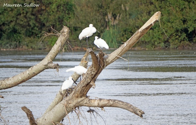 Royal spoonbills 3