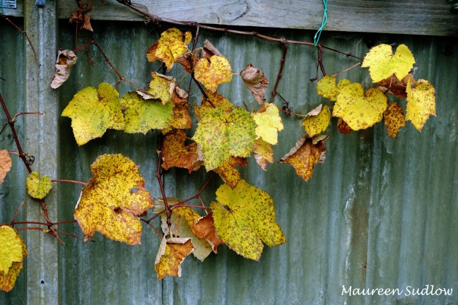 winter grapevine3
