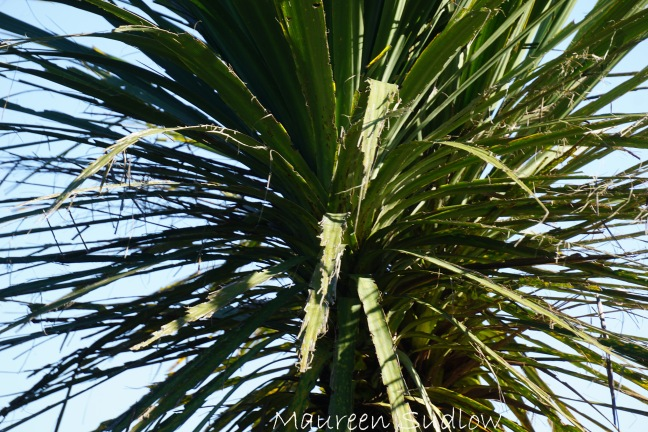 cabbage tree two