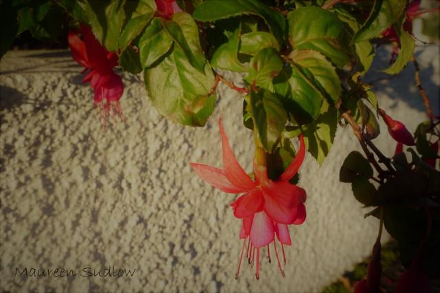 Fuchsia (2)