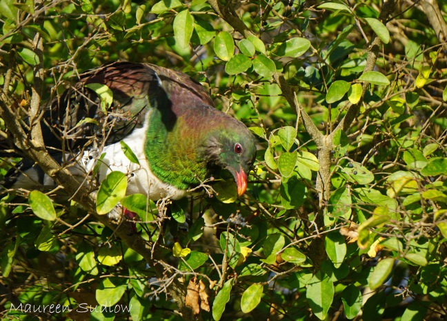 kereru camoflague five