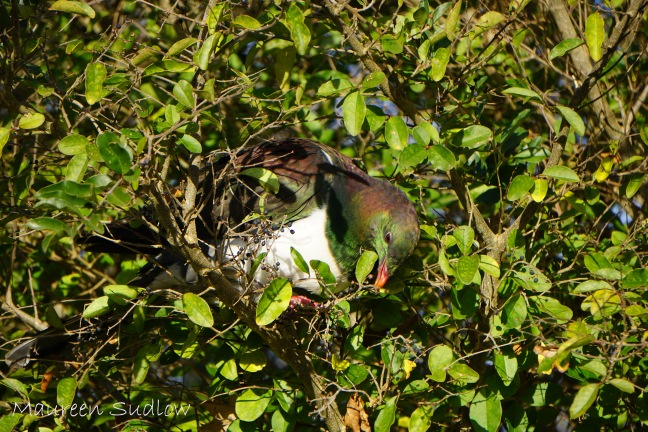 kereru camoflague four