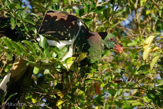 kereru camoflague three