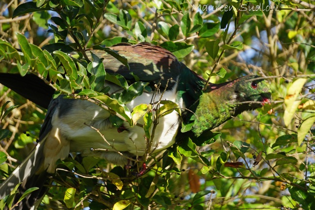 kereru camoflague two