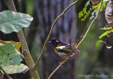 Stitchbird four