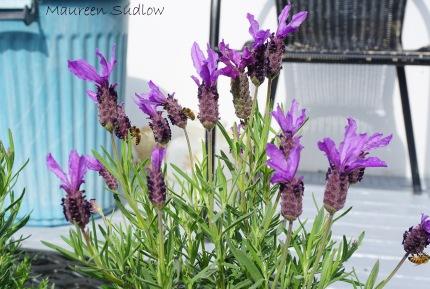 lavendar two