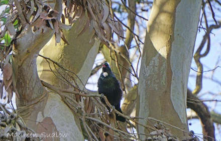 Tui in a gum tree five