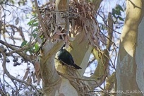 Tui in a gum tree four
