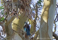 Tui in a gum tree three
