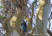 Tui in a gum tree three
